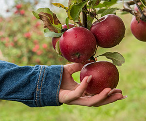 up close of hand picking an apple from tree